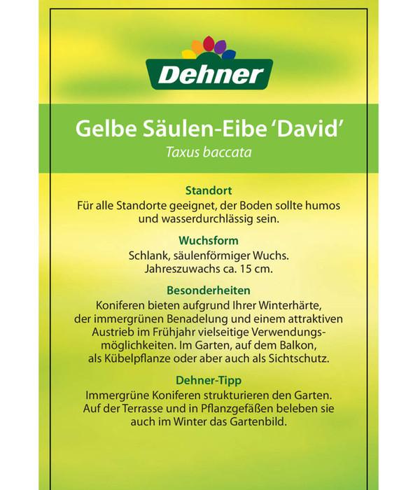 Gelbe Säuleneibe 'David'