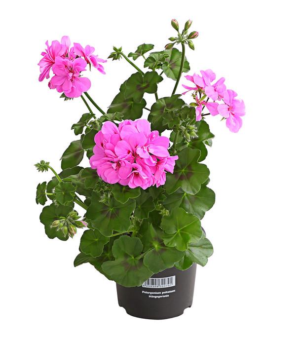 Geranie h ngend dehner for Halbschattige balkonpflanzen