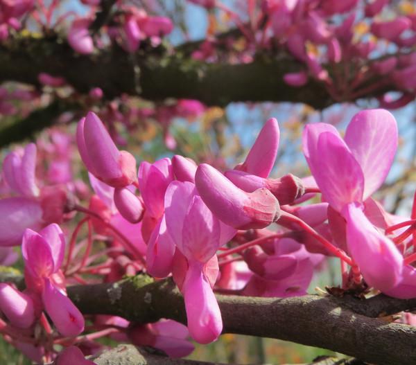 Gewöhnlicher Judasbaum - Liebesbaum - Herzbaum