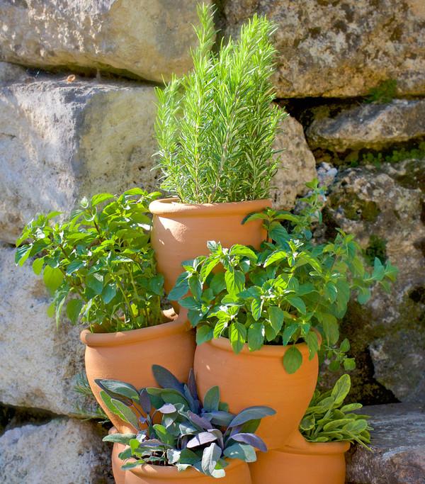 Dehner Gourmet Garten Rosmarin Busch