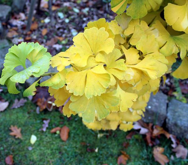 Ginkgobaum - Fächerblattbaum 'Mariken'