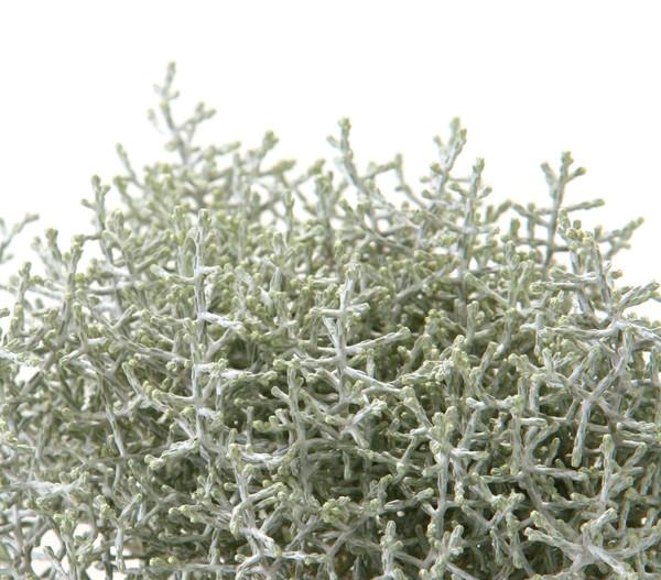Gitterkraut - Stacheldraht - Silberkraut