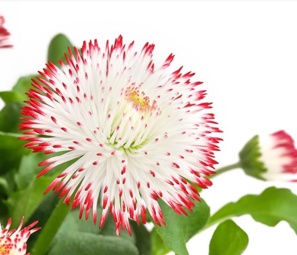 Gänseblümchen - Bellis 'Habanera'®