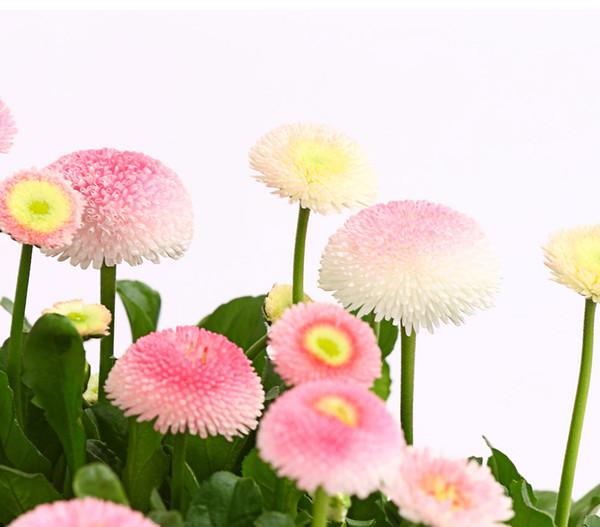 Gänseblümchen, Schale
