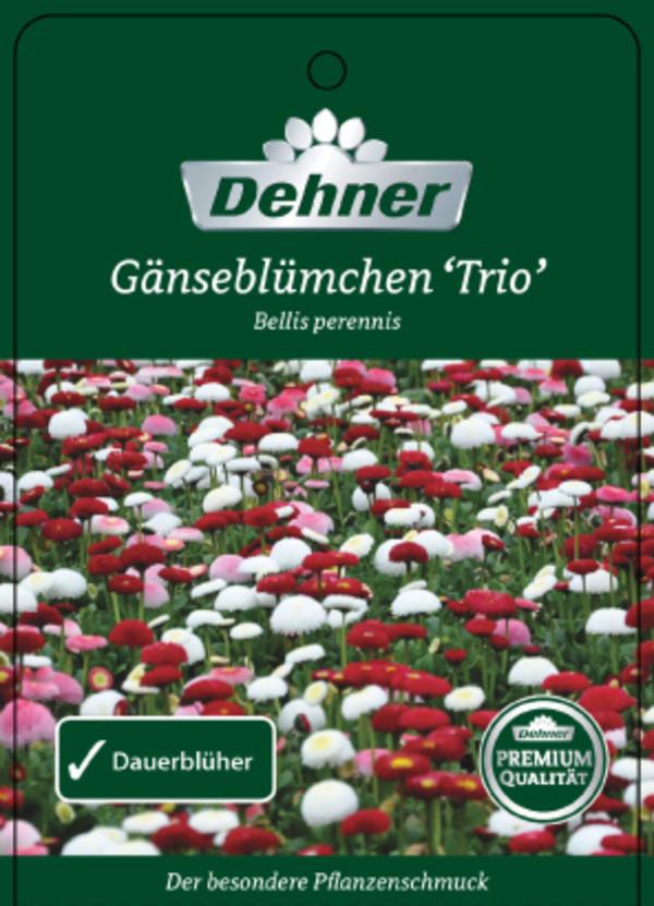 Gänseblümchen 'Trio'
