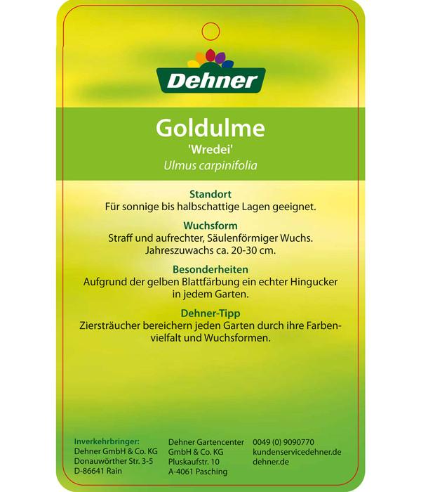 Gold-Ulme 'Wredei'