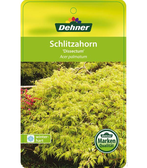 Grüner Schlitz-Ahorn 'Dissectum'