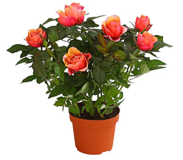 Großblütige Topf-Rose, gefüllt