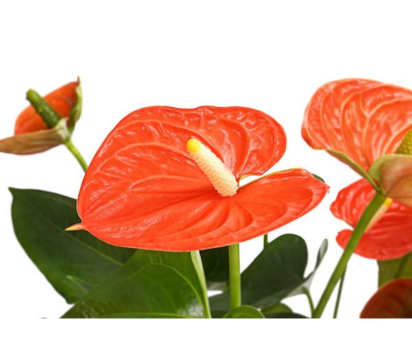 Große Flamingoblume - Anthurie, orange