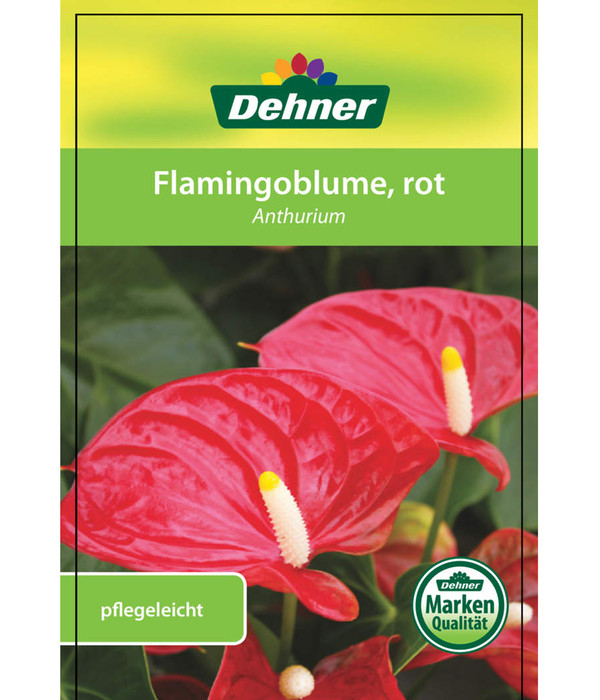 Große Flamingoblume - Anthurie, rot