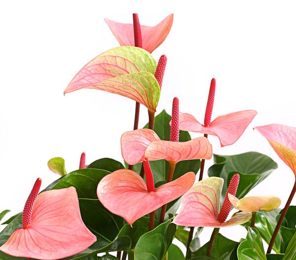 Große Flamingoblume - Anthurie 'Summerlove'