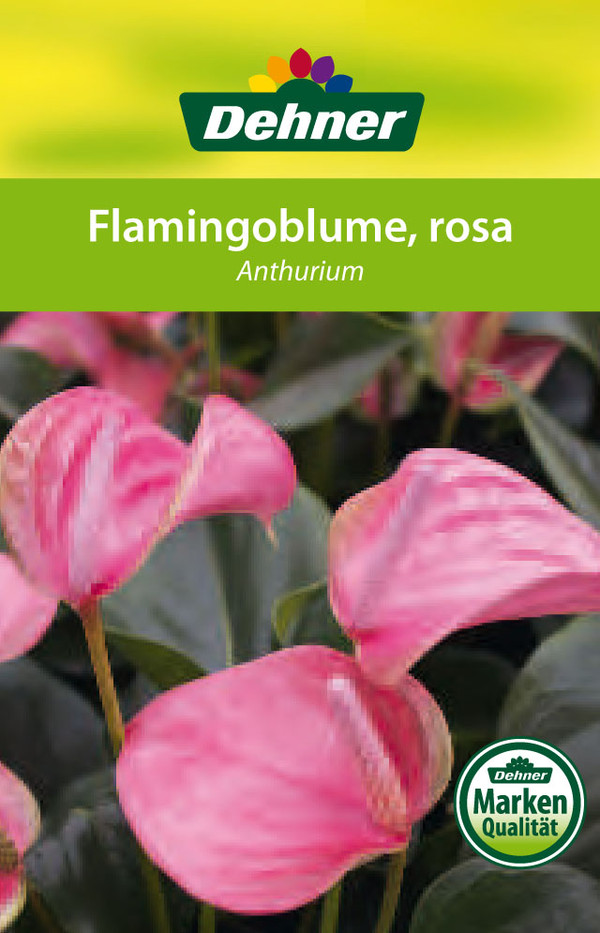Große Flamingoblume - Anthurie 'Sweet Lips'