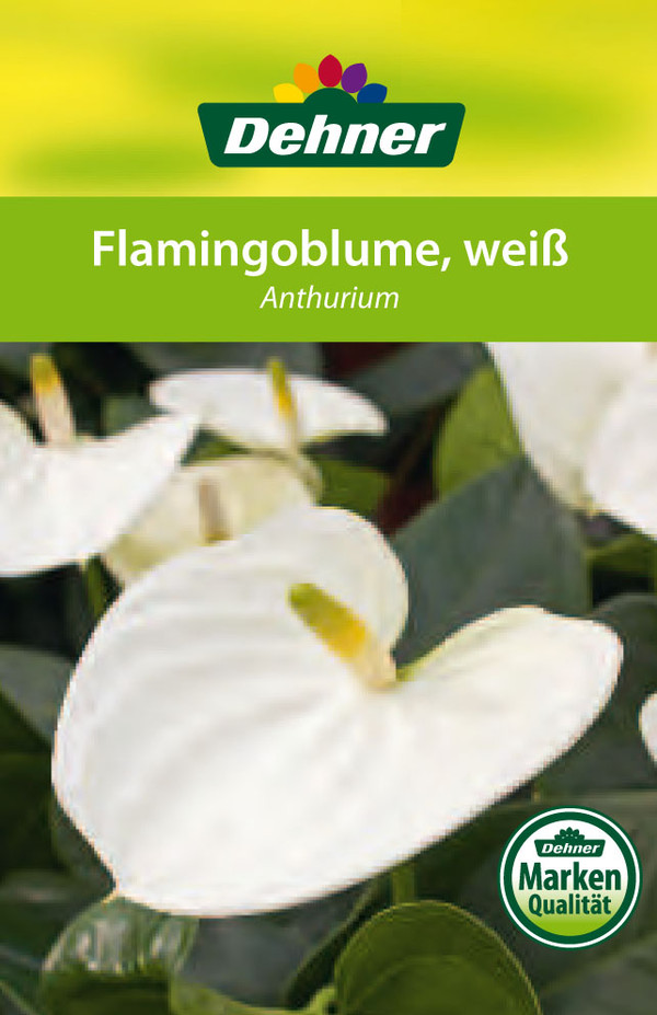 Große Flamingoblume - Anthurie, weiß
