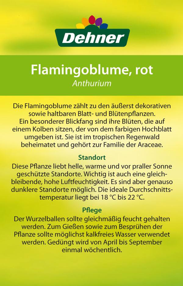Große Flamingoblume 'Frankonien'