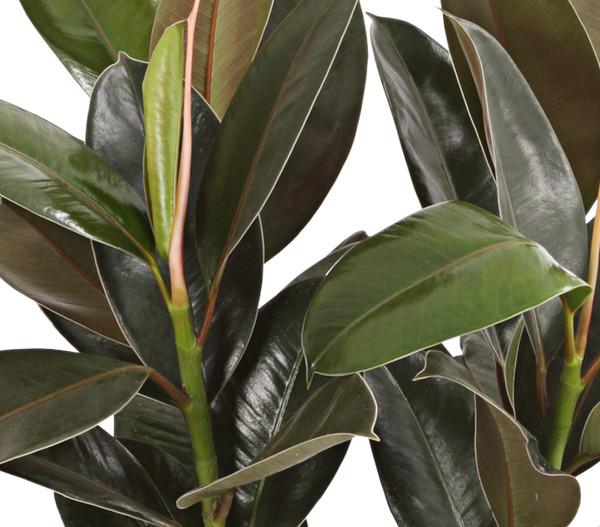 Gummibaum - Ficus 'Melany'