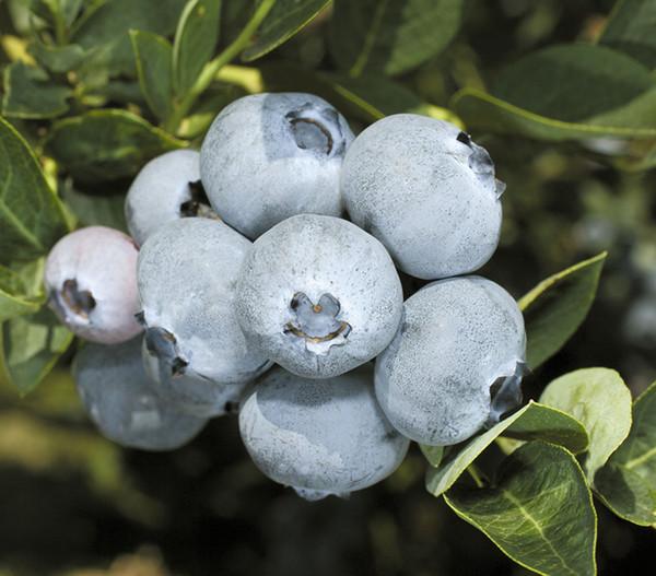 Heidelbeere 'Bluegold'