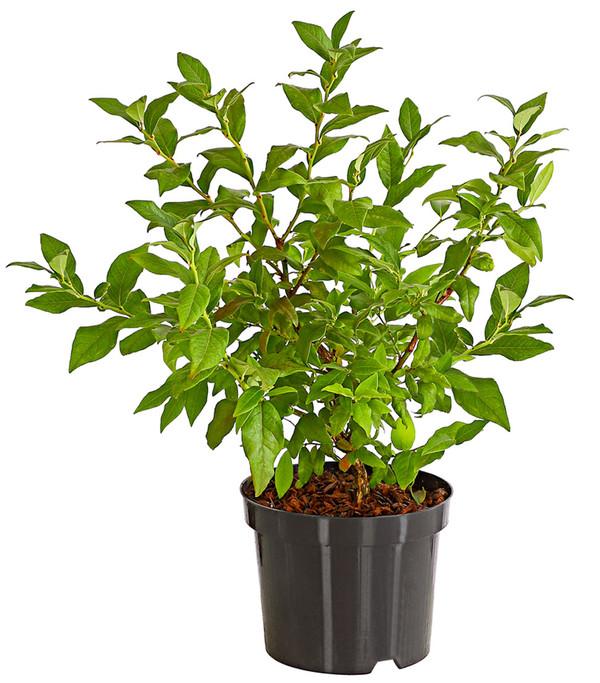 Heidelbeere 'Hortblue Petite®'