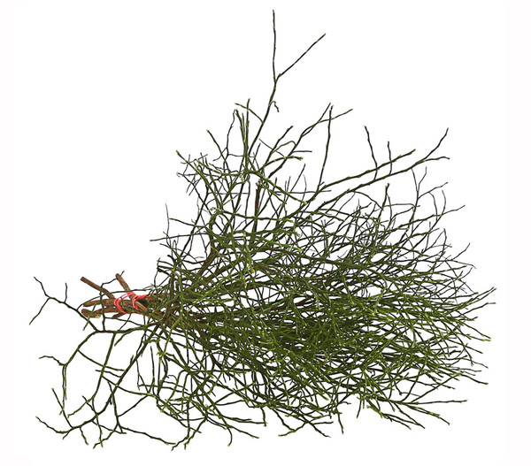 Heidelbeere-Bund, natur, 40 - 50 cm