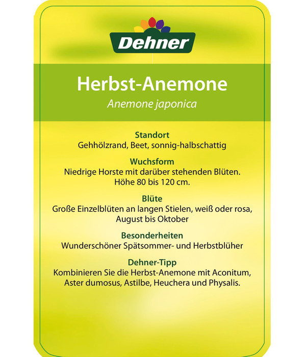 Herbst-Anemone, 23cm