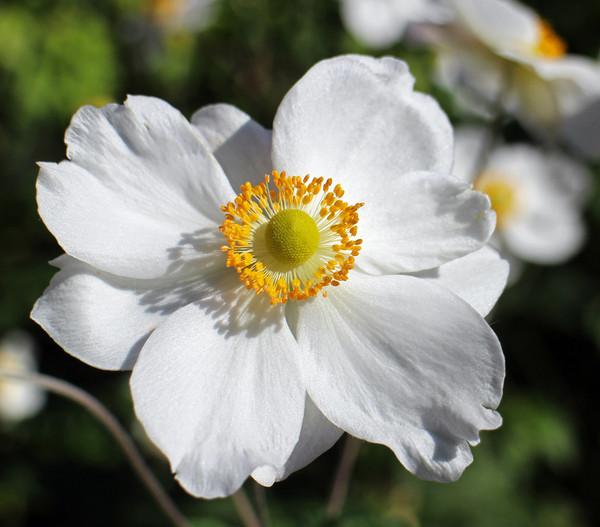 Herbst-Anemone, weiss, 9cm
