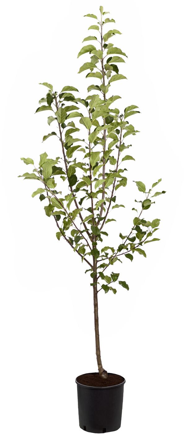 Herbstapfel 'Rubinola'