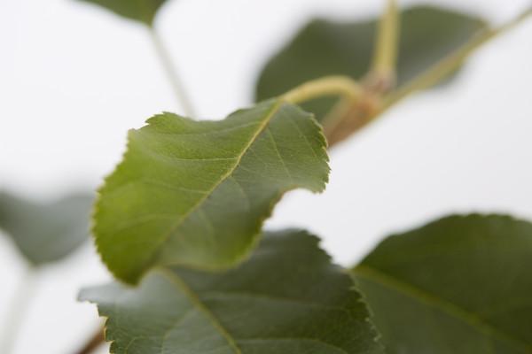 Herbstapfel 'Topaz'