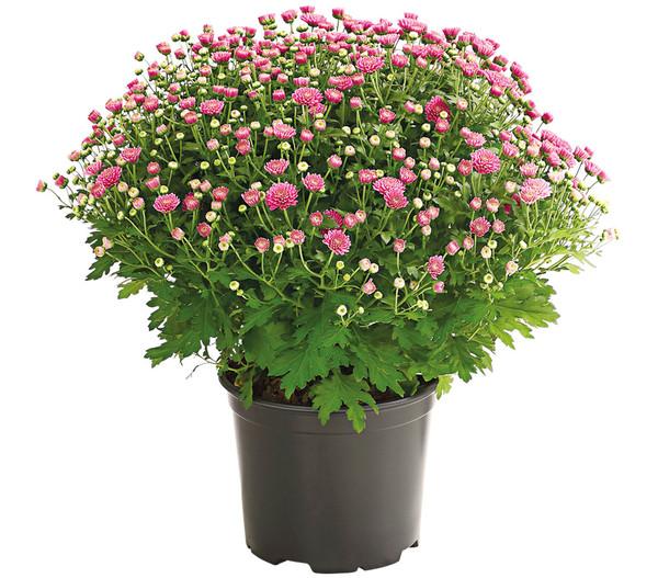 Herbst-Chrysantheme, Sortenmix