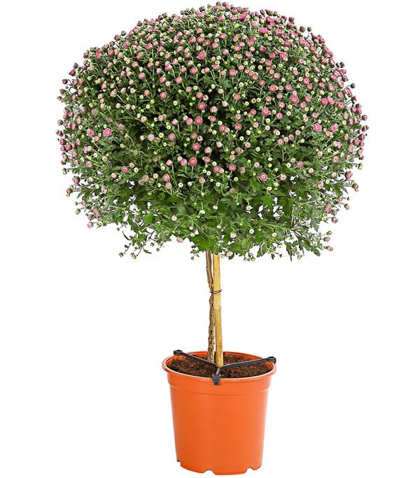 Herbst-Chrysantheme, Stämmchen