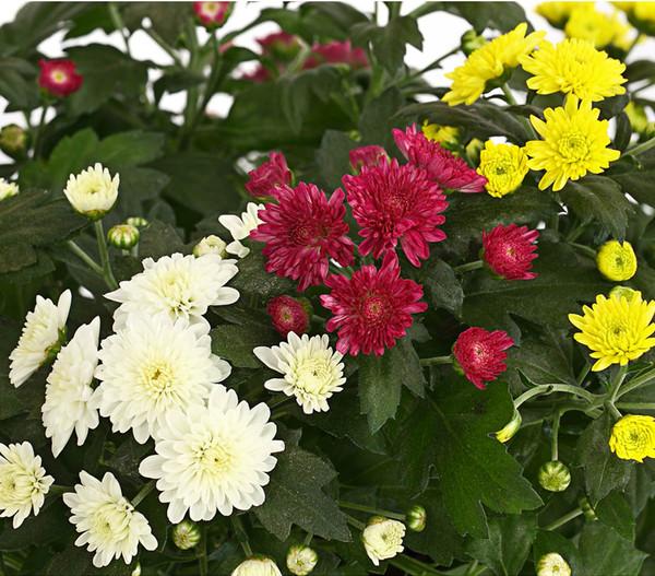 Herbst-Chrysantheme 'Trio'