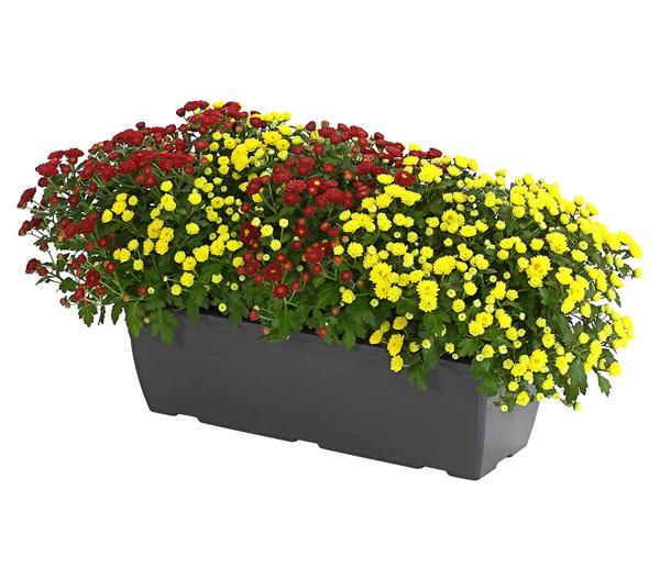 Herbst-Chrysantheme 'Twin', im Kasten