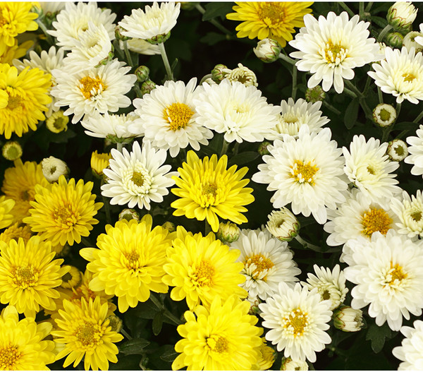 Herbst-Chrysantheme, Twin