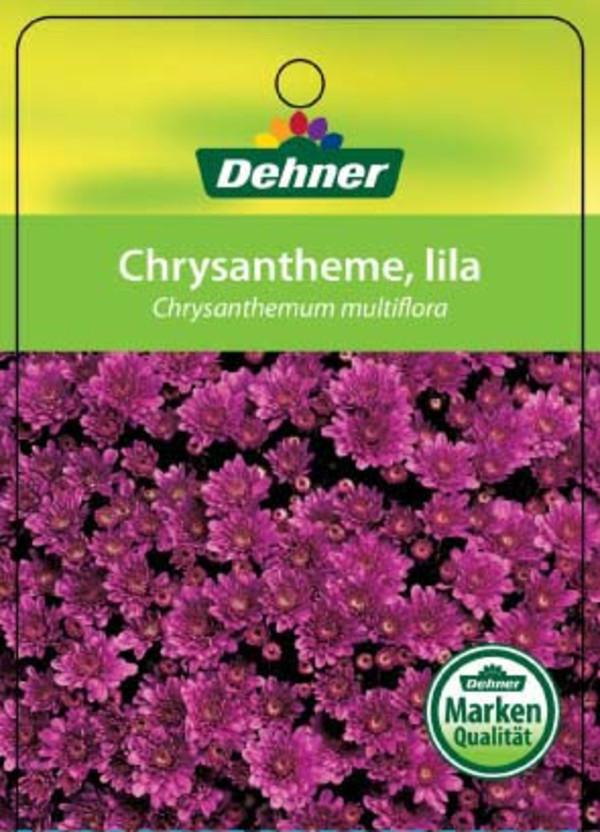 Herbst-Chrysantheme