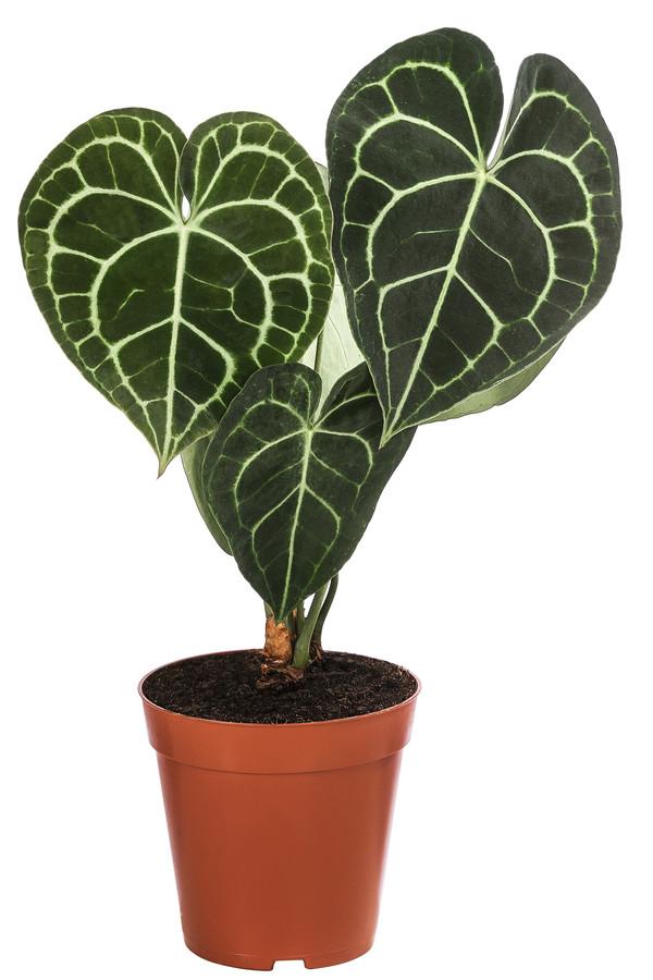 Herzblattblume - Anthurium Clarinervium