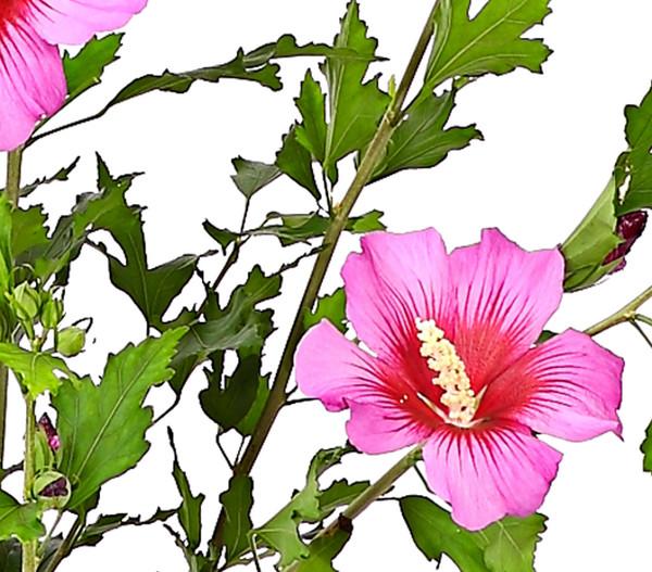 Hibiscus 'Russian Violet' - Garten-Eibisch