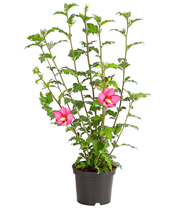 Hibiskus - Garteneibisch, in Sorten