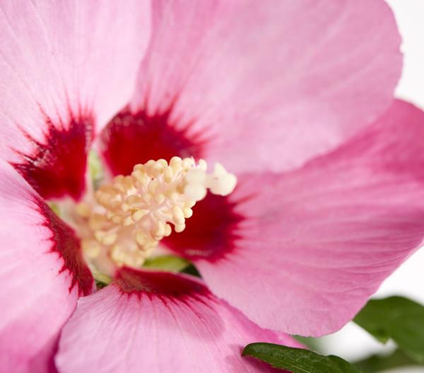 Hibiskus - Garten-Eibisch, Stämmchen