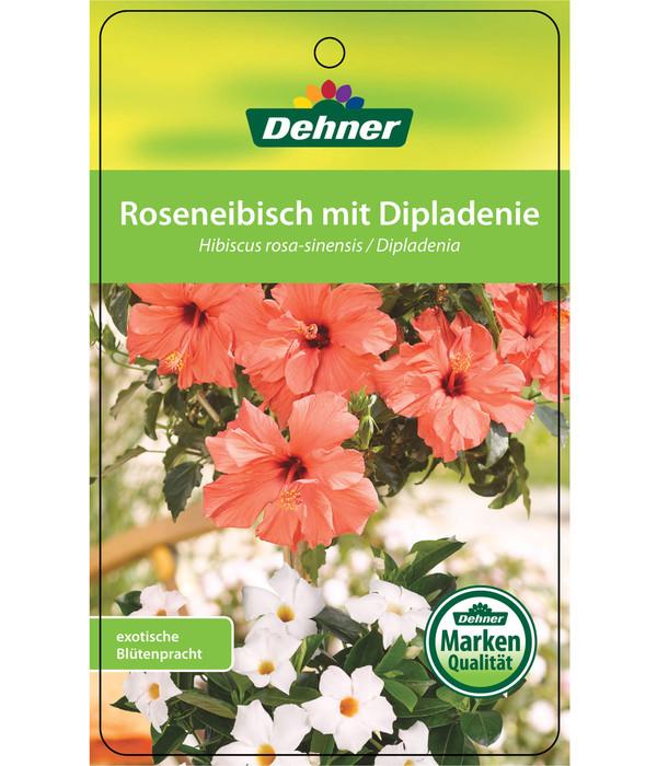 Hibiskus, bepflanzt