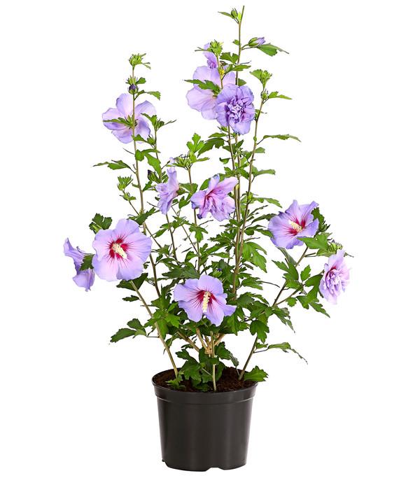 Hibiskus 'Blue Chiffon' - Garten-Eibisch