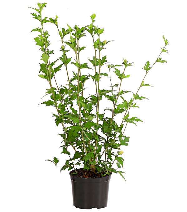 Hibiskus 'China Chiffon' - Garten-Eibisch