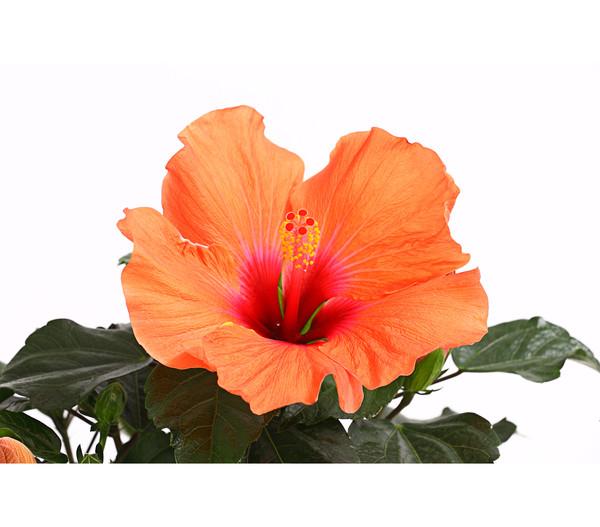 hibiskus 39 hibisqs 39 dehner. Black Bedroom Furniture Sets. Home Design Ideas