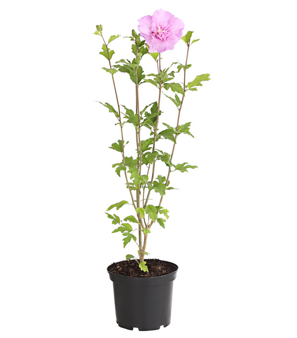 Hibiskus 'Lavender Chiffon' - Garten-Eibisch