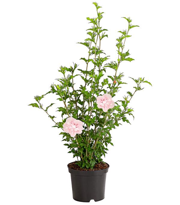 Hibiskus 'Pink Chiffon' - Garten-Eibisch