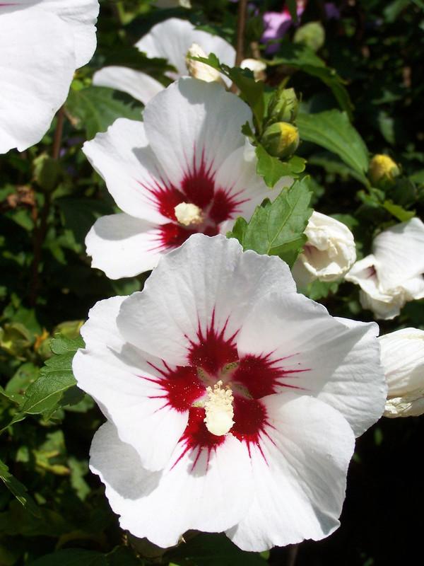 Hibiskus 'Purple Ruffels' - Garten-Eibisch