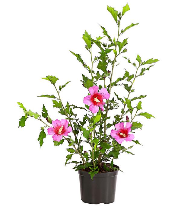 Hibiskus 'Silke' - Garten-Eibisch