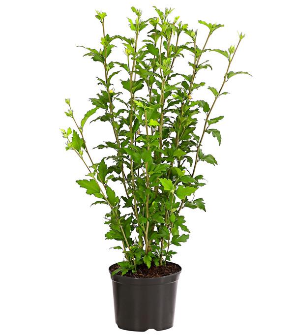 Hibiskus 'White Chiffon' - Garten-Eibisch