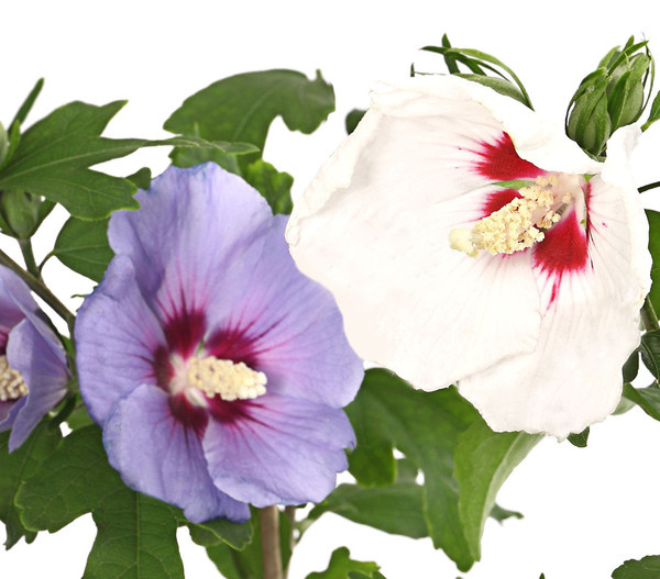 Hibiskus-Duo - Garten-Eibisch, verschiedene Farbkombinationen