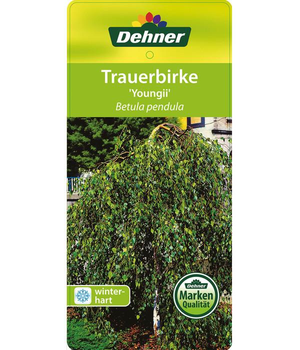 Hänge-Birke - Warzen-Birke - Trauer-Birke 'Youngii'