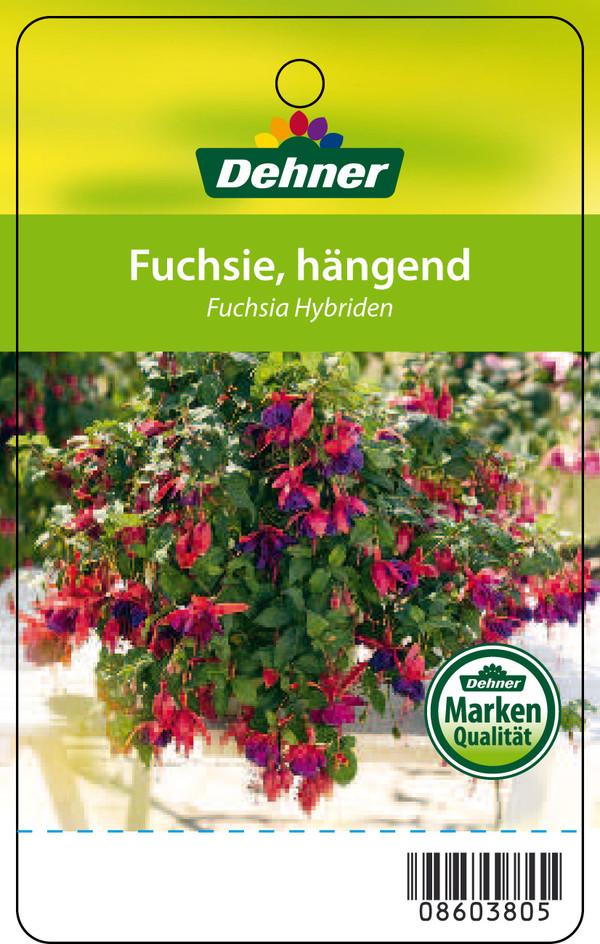 H ngefuchsie ampel dehner for Halbschattige balkonpflanzen