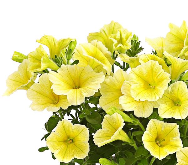 Hängepetunie, gelb