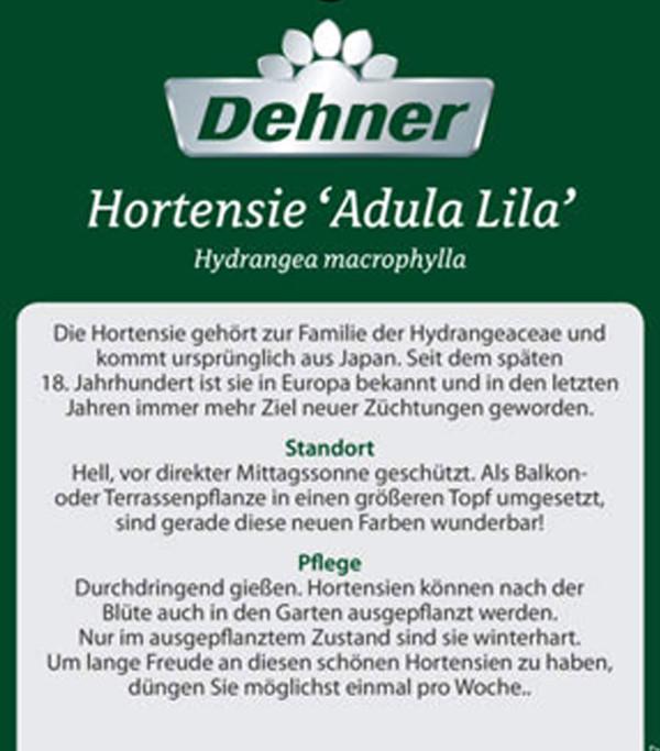 Hortensie 'Adula'